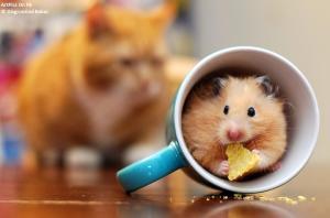 hamster amenazado por gato