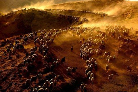 Pastores turcos guían al ganado a través del monte Nemrut hacia Kiyiduzu el 25 de junio.